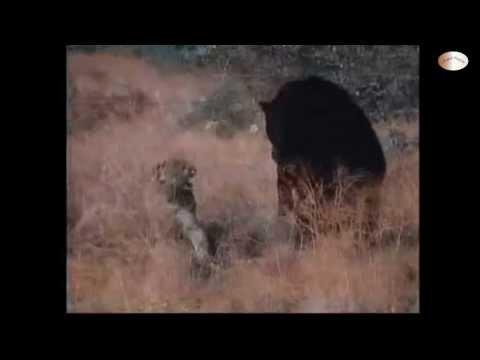 [HD] Thế Giới Động Vật: Gấu đen đọ sức Báo Sư tử