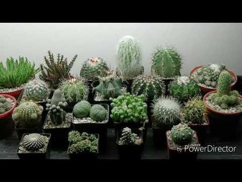 Виды домашних цветущих кактусов
