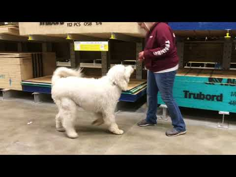 Dog Training: Great Pyrenees/Poodle, Oliver! Before/After Two Week Board and Train