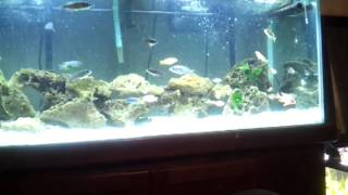African Cichlids In A 75 Gallon Fish Tank