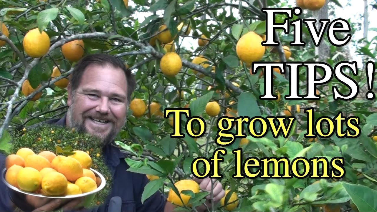 5 tips how to grow a ton of lemons on one tree youtube. Black Bedroom Furniture Sets. Home Design Ideas