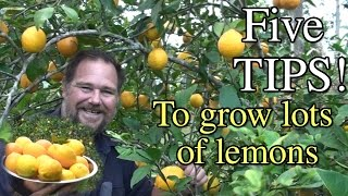 5 Tips How to Grow a Ton of Lemons on One Tree