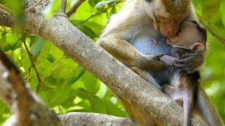 An Alpha Female Kidnaps Son of Lower Status Macaque