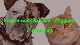 КАКИЕ ПОРОДЫ СОБАК ДРУЖАТ С КОШКАМИ WHAT BREEDS OF DOGS ARE FRIENDS WITH CATS