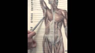 Мышцы верхней конечности 3