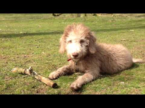 Claude the Bedlington terrier puppy grows up