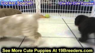 Cocker Spaniel, Puppies, For, Sale, In, Edmond, Oklahoma, Ok, Cleveland, Comanche, Canadian, Rogers,