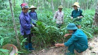 Hiệu quả từ mô hình trồng rừng kết hợp với chăn nuôi đại gia súc tại Lai Châu