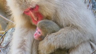 【SNOW MONKEY】 Baby has Come !! 地獄谷野猿公苑