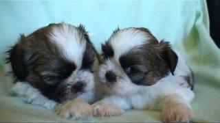 Two Bro Shih Tzu Kissing Super Cute