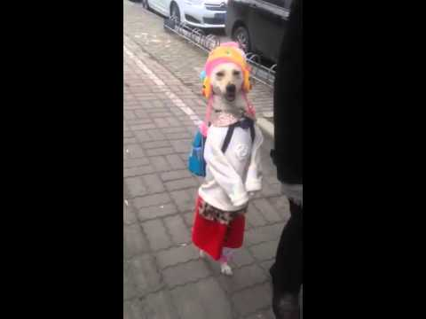 Adorable dog walking to school in China.