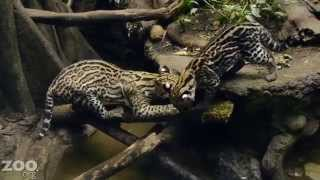 ocelot-kitten-learns-to-fish
