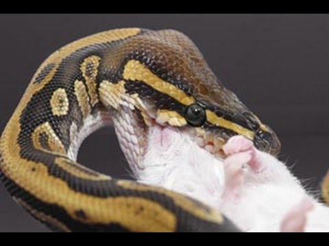 How to Get Your Snake to Eat Again (PLS READ DESCRIPTION)