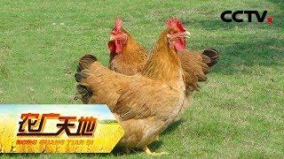 《农广天地》 20190516 合作养出共赢鸡| CCTV农业