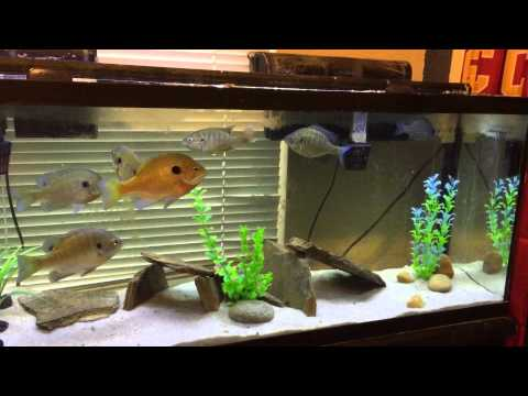 60 gallon Bluegill Tank/Aquarium