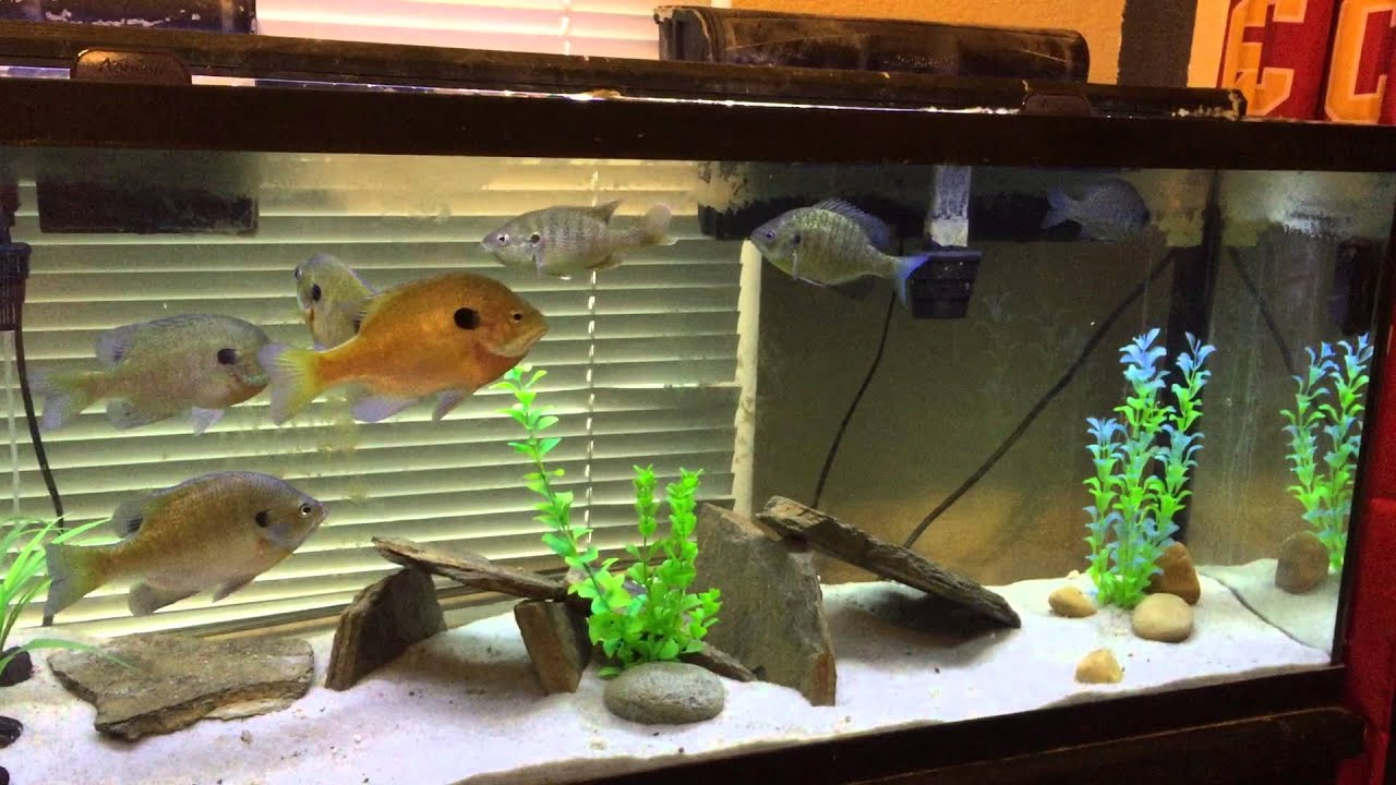 60 gallon bluegill tank aquarium youtube