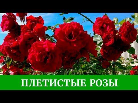 Плетистые розы. Обзор сортов, Полька, Цезарь, Айсберг, Дон Жуан и другие розы