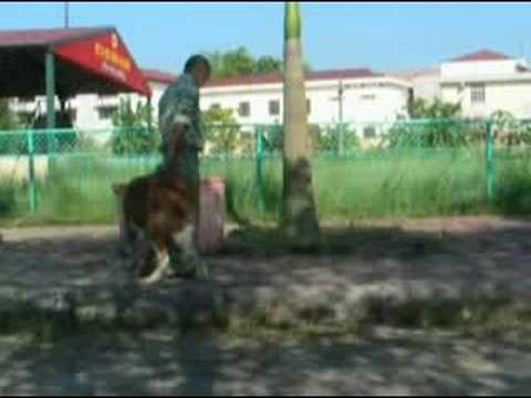 huấn luyện chó nghiệp vụ, chó Bấc, film 1