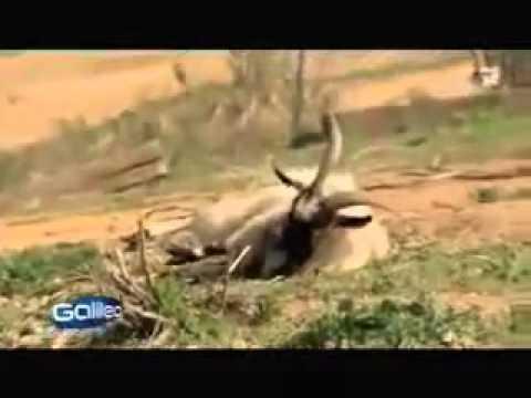 Порода коз у которых при испуге сводит ноги