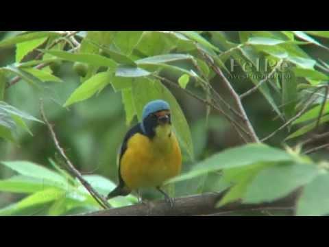 Jilguero (Euphonia musica sclateri, Antillean Euphonia) vocalizando