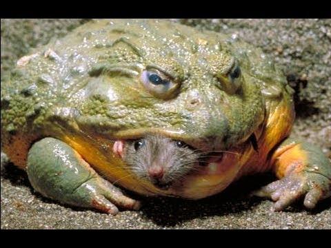 巨型青蛙的生命周期。巨型青蛙吃老鼠,蛇,与牛