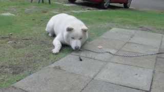 北海道犬の「ソラ」、目の前に現れたミヤマクワガタに激吠えしています...