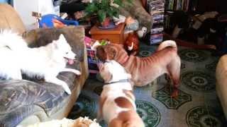 American Eskimo Vs. Sharpei + English Bulldog (02)
