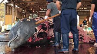 令和元年10月1日(火) 和田浦の鯨漁再開 19頭目解体