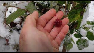 Поздний урожай классной ремонтантной малины в ноябре. Потенциал и возможности ремонтантной малины.
