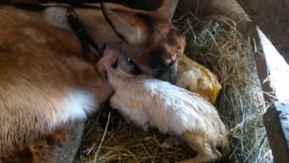 Окот козы первокотки Маси 18+
