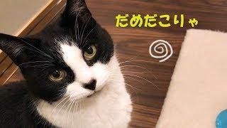 猫に納豆を食べさせてみたら反応が…w