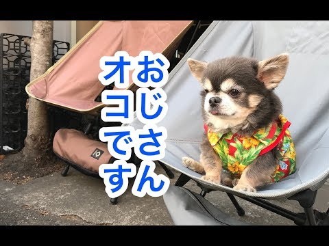 【チワワ】おしゃべりラズおじさん~マテ選手権について~