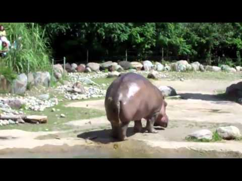 Thumbnail: World's Biggest Fart - The Hippo