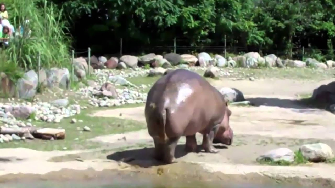 youtube hippo fart