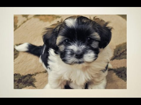 Havanese Puppies Potty Trained: 6 Tips To Housetraining a Havanese