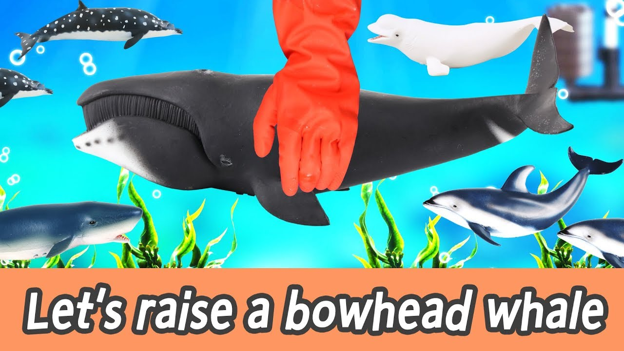 [EN] Let's raise a bowhead whale! animals names for kids, coco's animation, collecta #196ㅣ