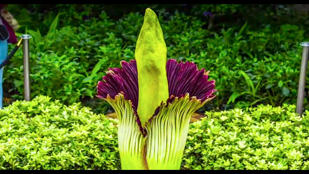 Corpse Flower Timelapse Video Chicago Botanic Garden Youtube