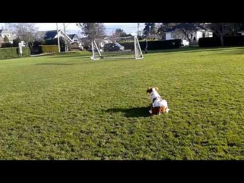 A dog stare-down: Brittany spaniel vs. Fluffy white dog