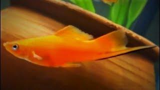 Swordtail Fish Care Guide & Tank Set-up