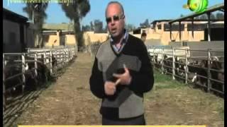 مشروع انتاج و تربية الاغنام و الماعز