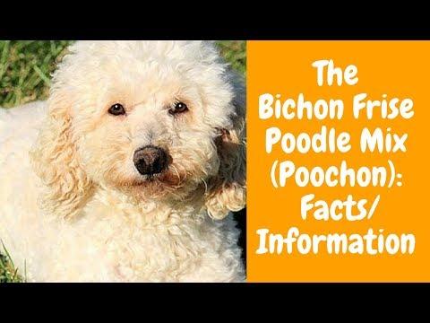 The Bichon Frise Poodle Mix (Poochon): Facts/Information