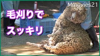 ヒツジの毛刈り Sheep(Corridale) shearing