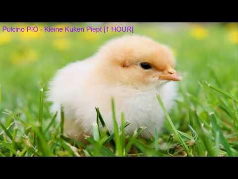 Pulcino PIO - Das Kleine Kuken Piept [1 HOUR]
