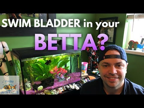 HOW TO TREAT A BETTA WITH SWIM BLADDER DISEASE