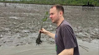 Planting some mangroves in the mud