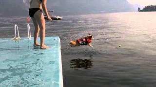 怖がりなコーギー犬が思い切って海にジャンプ! thumbnail