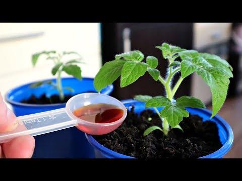 Хотите мощную приземистую рассаду и супер урожай помидор? Делайте так!