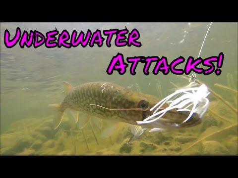 Chain Pickerel UNDERWATER ATTACKS!