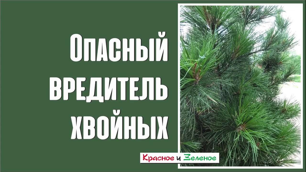 Опасный вредитель хвойных растений. Будьте бдительны!