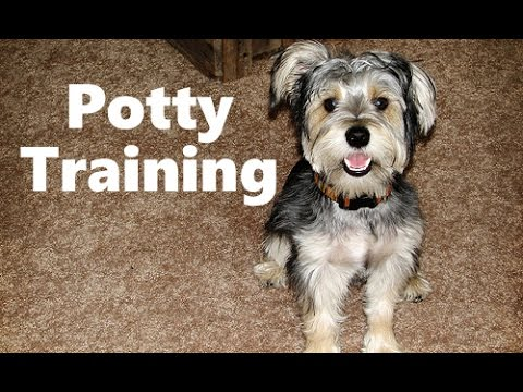 How To Potty Train A Schnorkie Puppy Snorkie House Training Tips
